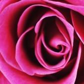 Book Review rose